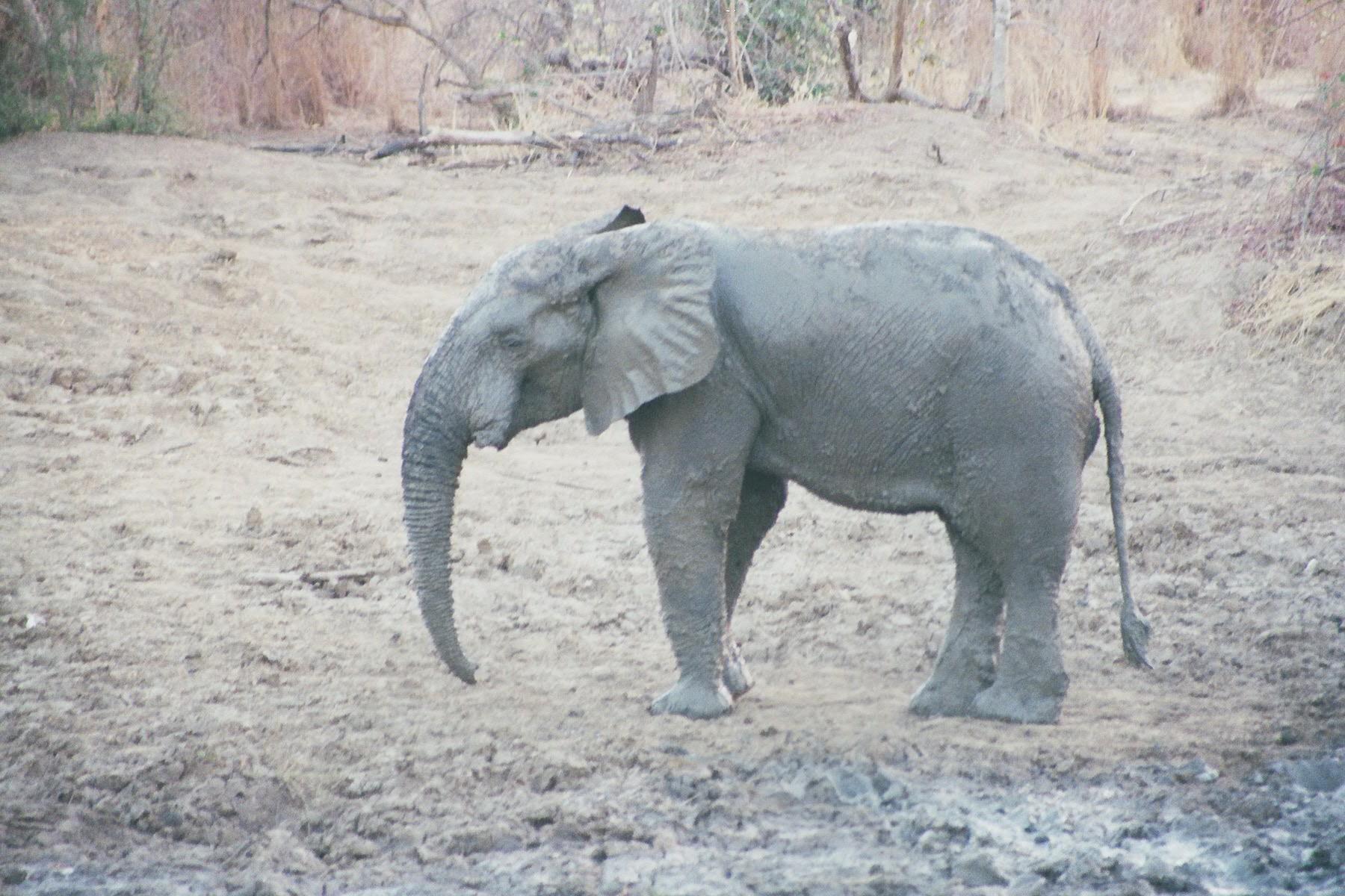Eléphant d'Afrique Burkina Faso sculpture Colcombet