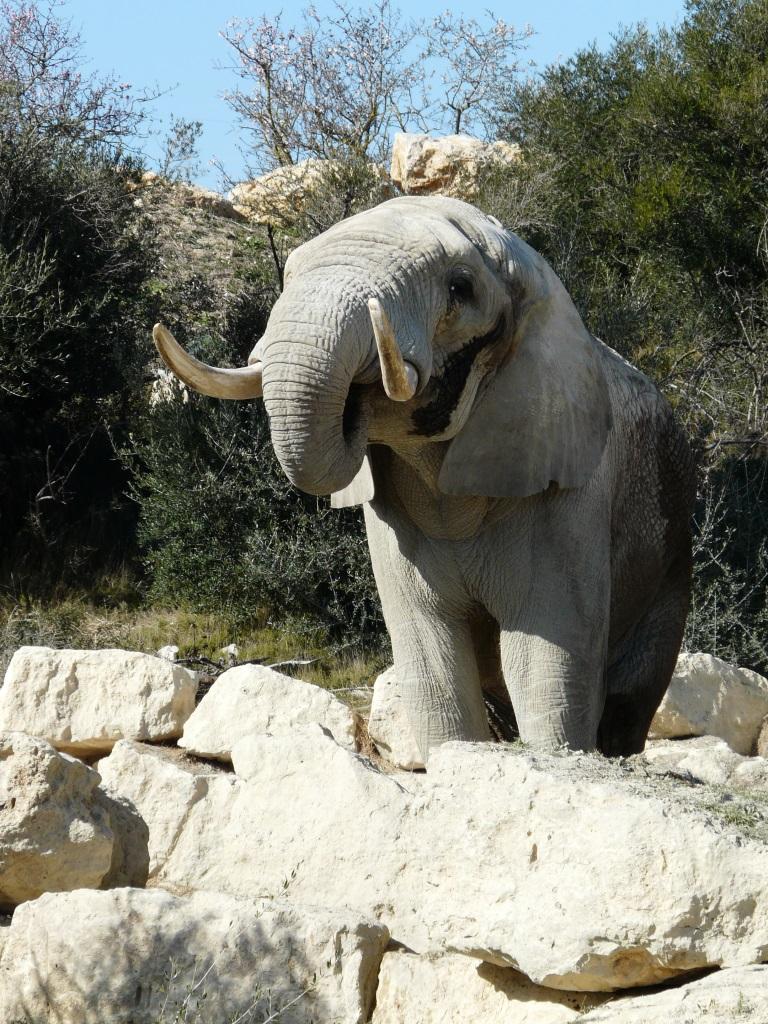 Éléphant d'Afrique bronze Colcombet
