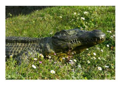 Crocodile-du-nil-grand-modèle-vue-01