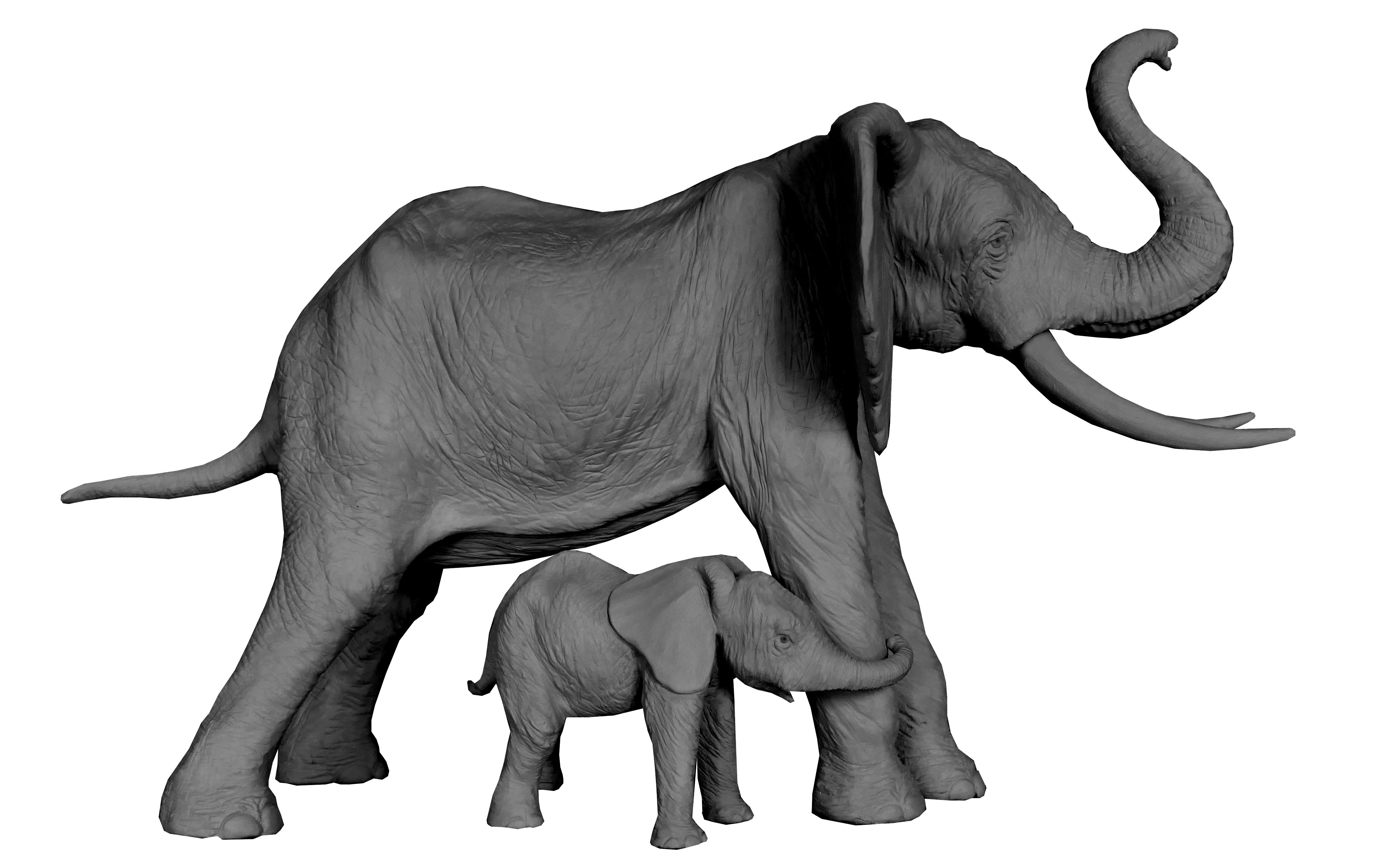 Eléphante d'Afrique éléphanteau Colcombet