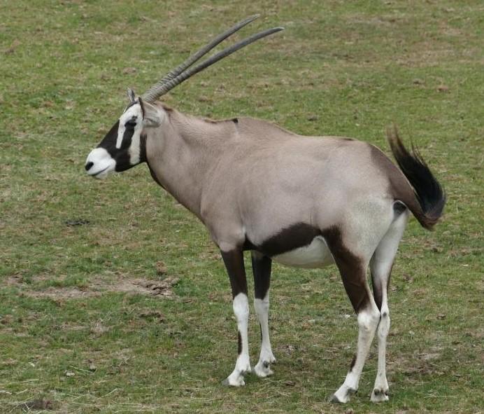 Oryx gemsbok