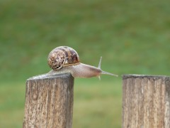 Colcombet dressage d'escargots