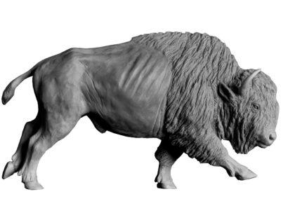 Bison-d'Amérique-grand-mâle-vue-4