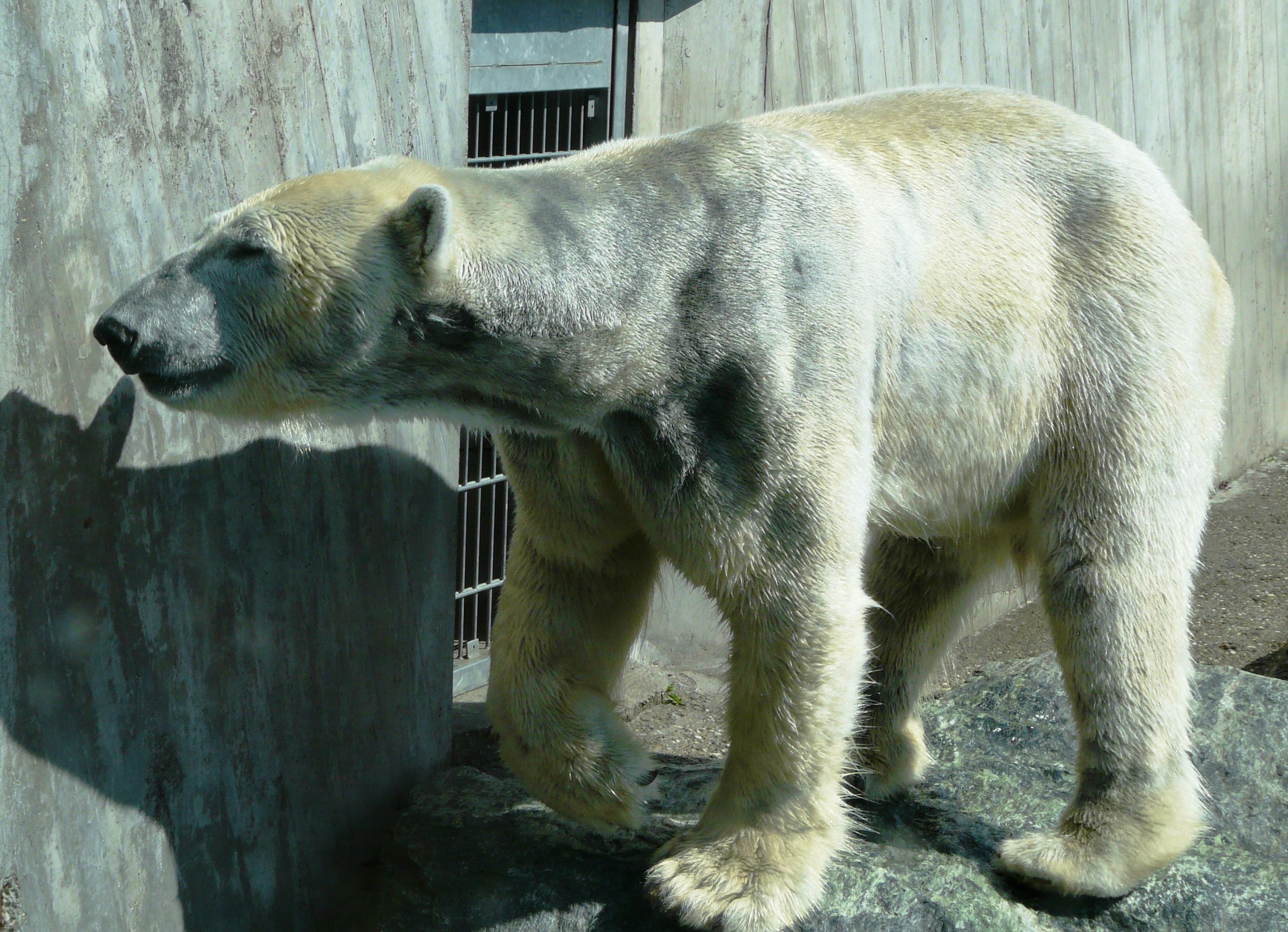 Ours polaire zoo de Stuttgart