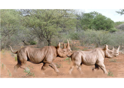 Couple-rhinos-noirs-au-trot-vue-03