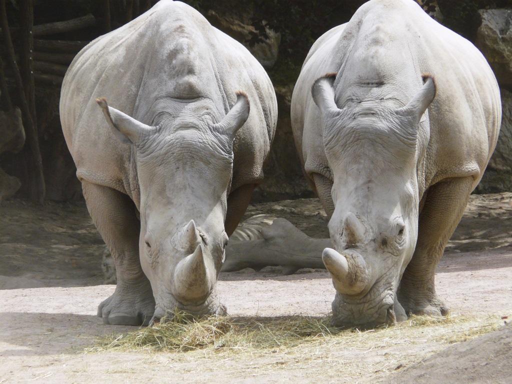 Rhinocéros blancs zoo de Pairi Daiza