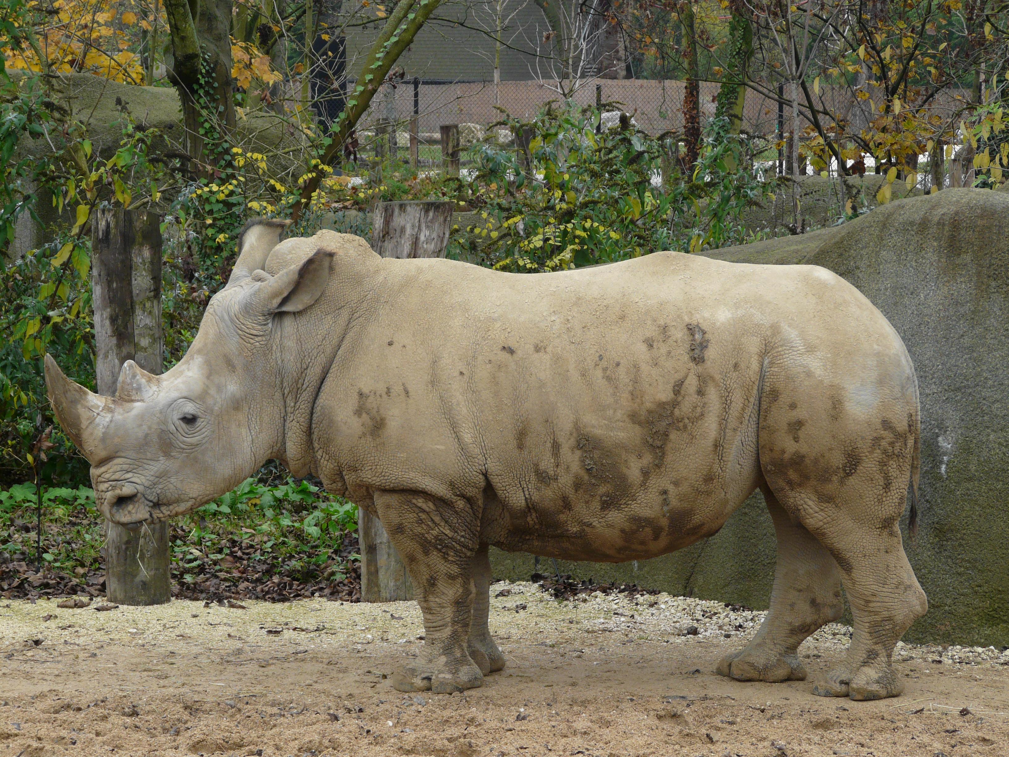 Rhinocéros blanc zoo de Paris