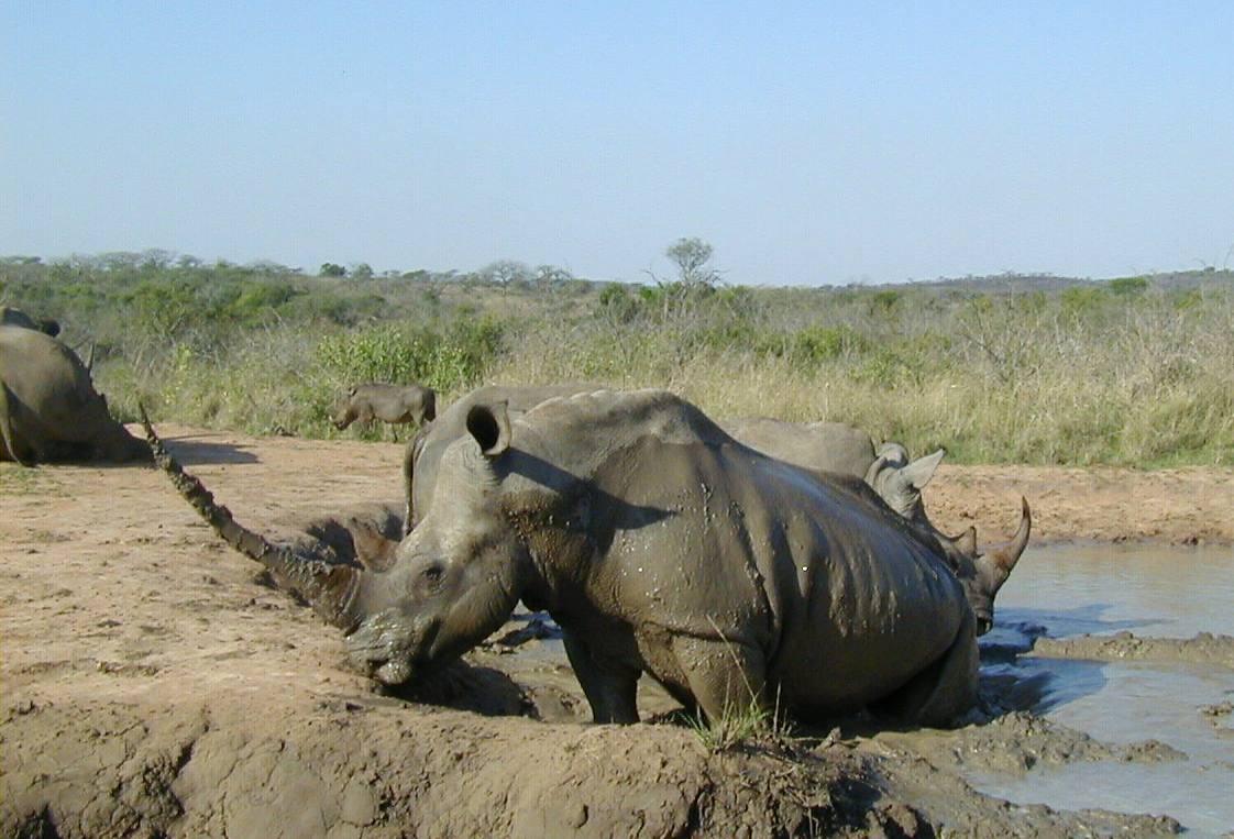 Rhinocéros blanc Afrique P.Blouch