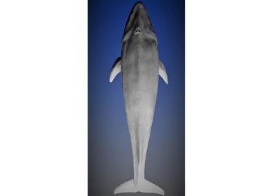 Baleine-bleue-vue-05