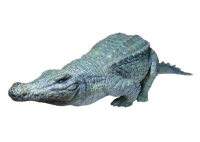 Crocodile-du-Nil-marchant-vue-02