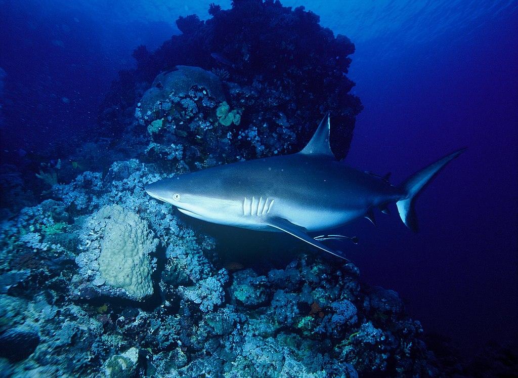 Requin gris des récifs bronze sculpture Colcombet