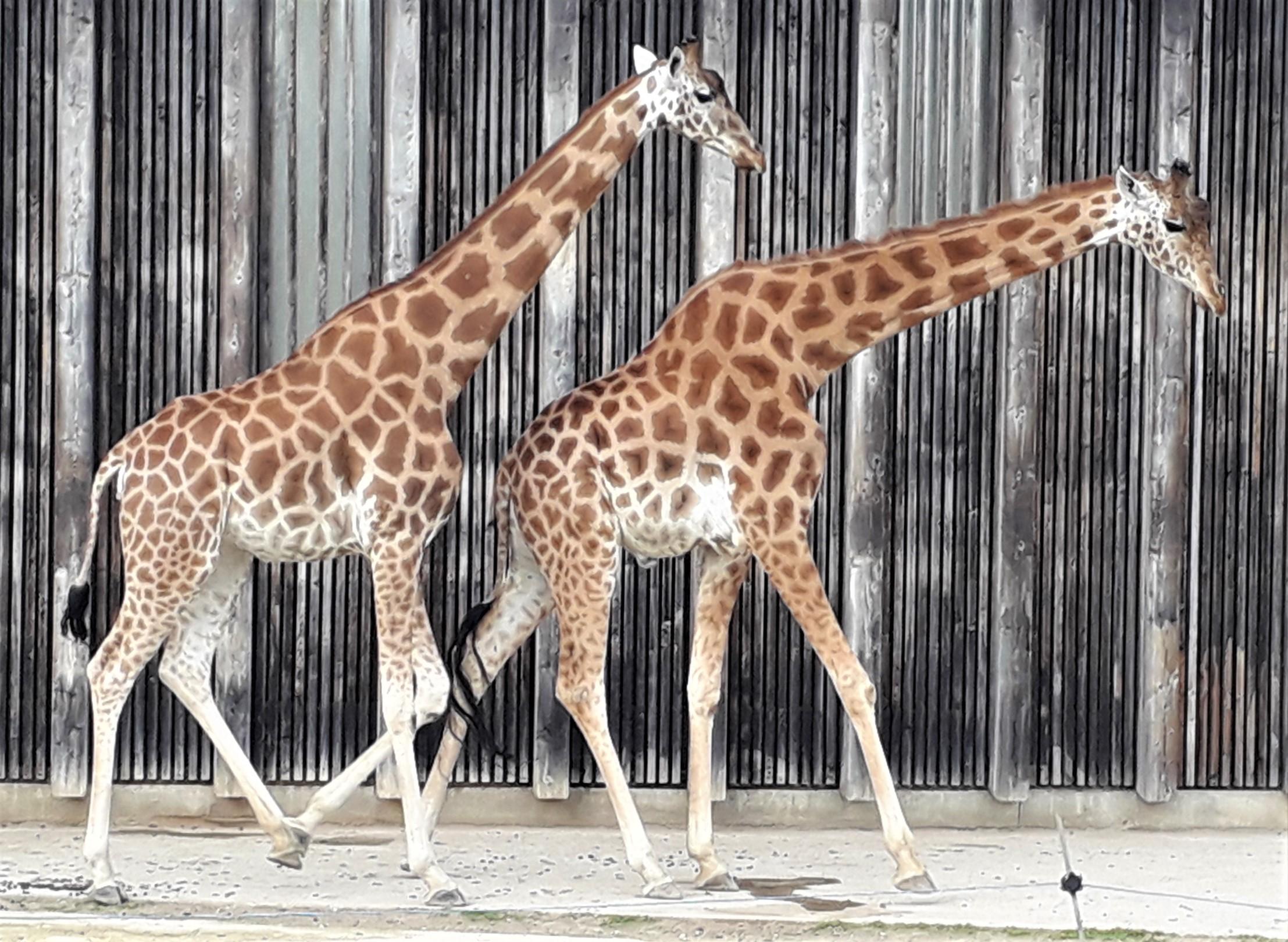 Girafes Parc de la Tête d'Or Lyon zoo rut chaleur parade