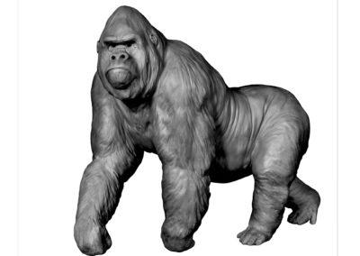 Gorille-grand-mâle-en-marche-vue-02