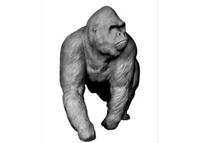 Gorille-grand-mâle-en-marche-vue-03