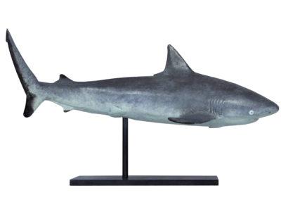 Requin gris des récifs
