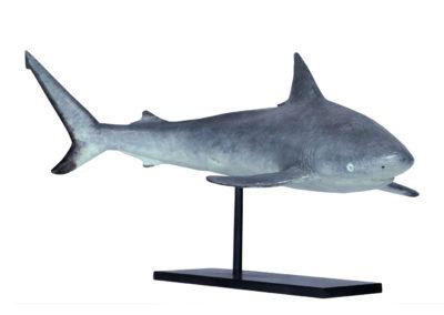 Requin-gris-des-récifs-vue-01