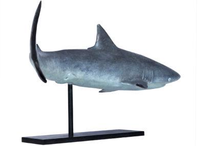 Requin-gris-des-récifs-vue-03