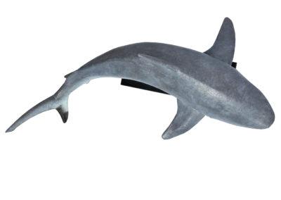 Requin-gris-des-récifs-vue-04